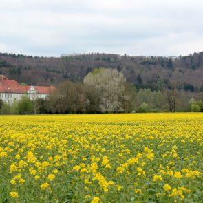 Rapsfeld Kloster Schaeftlarn