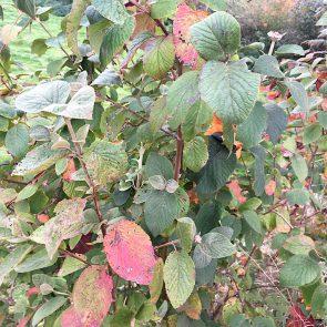 Wolliger Schneeball Herbstfärbung