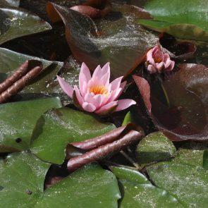 Seerosen rosa
