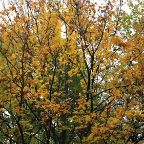 Spitzahorn Herbst