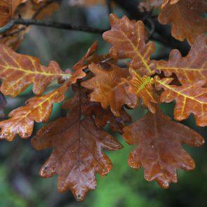 Stiel-Eiche Herbst