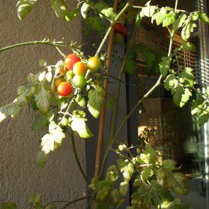 Tomate Früchte halbreif