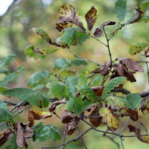 Traubeneiche Blätter Herbst