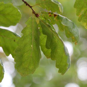 Traubeneiche Blatt Unterseite