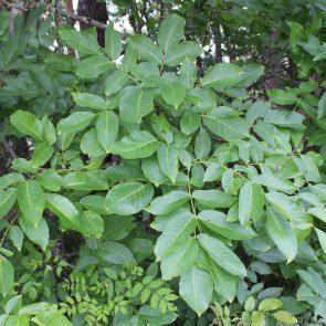 Walnuss Blätter