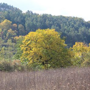 Walnuss Baum Herbst