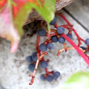 Wilder Wein Beeren