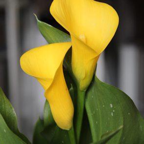 Zantedeschia gelb