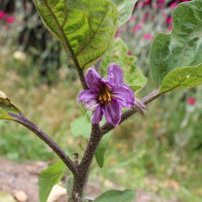 Auberginen-Blüte