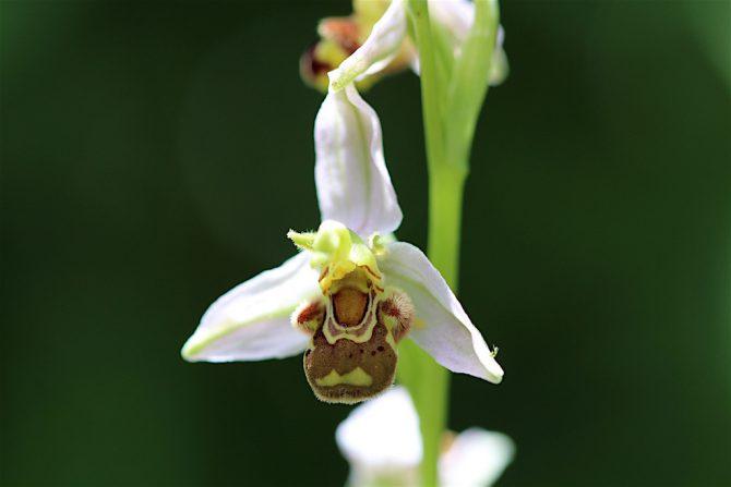 Bienen-Ragwurz_Blüte