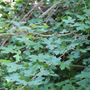 Feldahorn, Blätter