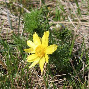 Frühlings-Adonisröschen Garchinger Heide