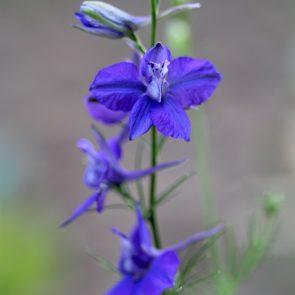 Gartenrittersporn blau