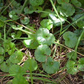 Gundermann Blätter