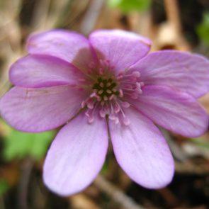 rosa Leberblümchen