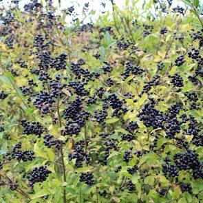 Liguster Beeren reif