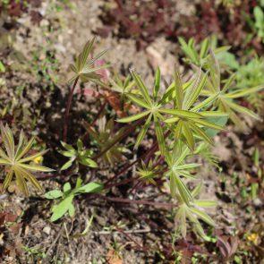 Blätter einer jungen Lupine