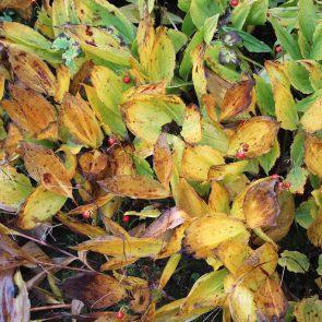 Maiglöckchen Herbst