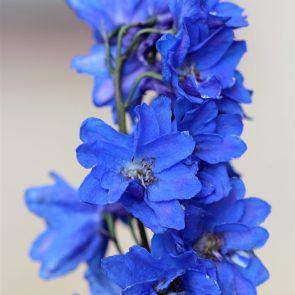 Rittersporn Blüte