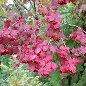 Schneeball Herbstfärbung