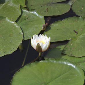 Seerose weiß