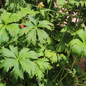 Trollblume, Blätter