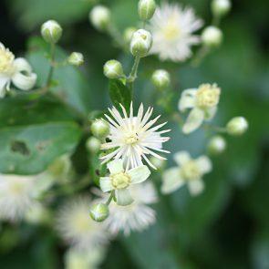 Waldrebe, Blüte offen