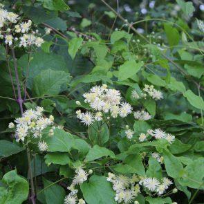 Waldrebe Blüten