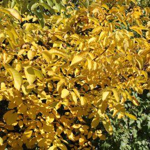 Walnuss Herbst Blätter