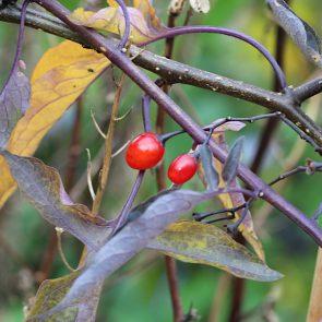 Bittersuesser Nachtschatten Herbst