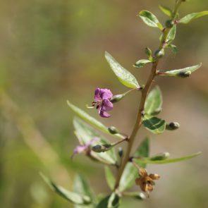 Bocksdorn Blüte