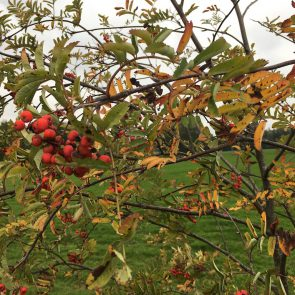 Eberesche Herbstfärbung