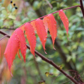 Essigbaum Herbst