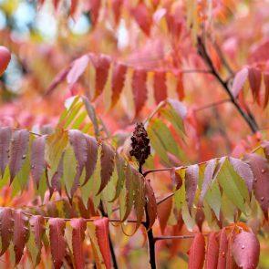 Essigbaum Frucht