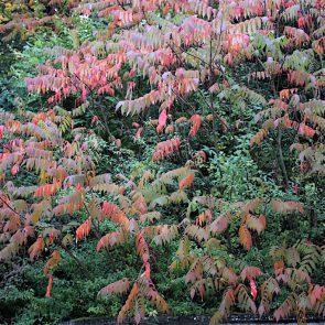 Essigbaum Herbstfärbung