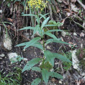 Fuchssches Greiskraut Pflanze