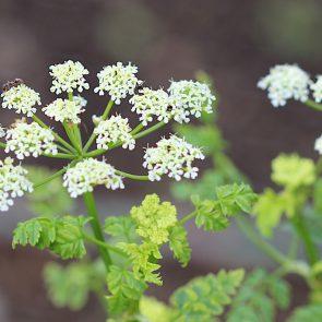 Gefleckter Schierling Blüte