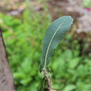 Giftlattich Blattoberseite