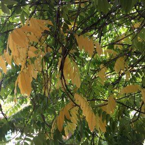 Glyzine Herbstfärbung