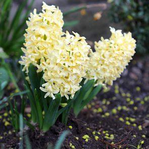 Hyazinthe gelb