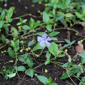 Immergruen violett