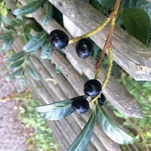 Kirschlorbeer Beeren
