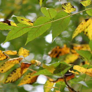 Lacksumach Blätter
