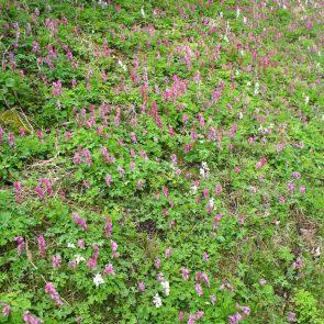 Lerchensporn, rosa und weiß