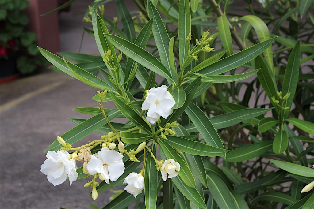 oleander rosenlorbeer nerium oleander xenophora. Black Bedroom Furniture Sets. Home Design Ideas