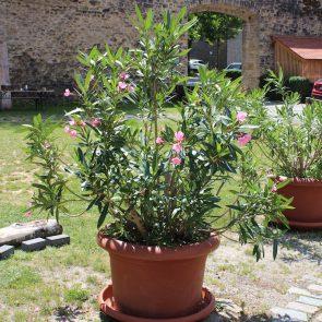 Oleander rosa Habitus