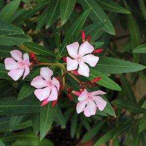 Oleander weiß-rosa