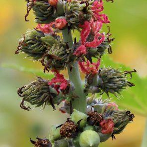 Rizinus männliche Blüten