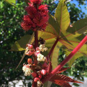 Rizinus rot Blüte und Frucht