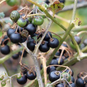 Schwarzer Nachtschatten Beeren